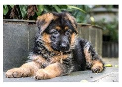 cute german sherpard puppies for sale