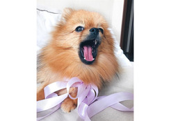 SUPER ADORABLE POMERANIAN PUPPY AVAILABLE FOR ADOPTION