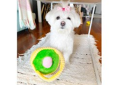 good natured and playful  Maltese puppies