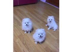 Healthy home raised pomeranian puppies kids for adoption