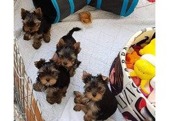 Yorkie puppies for adoption